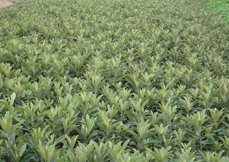 熊果酸原料枇杷叶基地--上禾生物