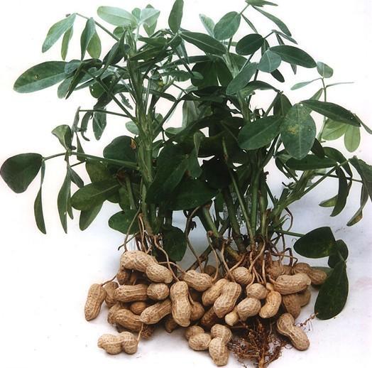 木犀草素-上禾生物